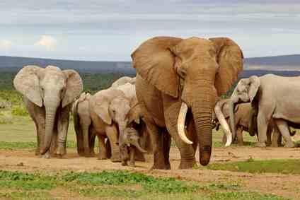 rpa-slonie